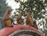 Rhesus Macaque at Pashupatinath Temple